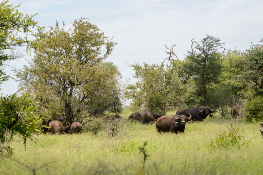 Safari in Kruger National Park, South Africa Buffalo Kruger Park National Park South Africa Water Buffalo Wildlife & Nature Africa Animal Wildlife Animals In The Wild Beauty In Nature Grass Kruger Krugernationalpark Krugerpark Nature No People Outdoors Safari
