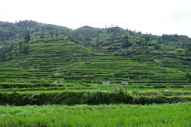 terraced fields Nature Stairs China,Guizhou Greens Tree Rural Scene Agriculture Field Cultivated Land Crop  Sky Landscape Terraced Field Rice - Cereal Plant Agricultural Field Rice Paddy Farmland