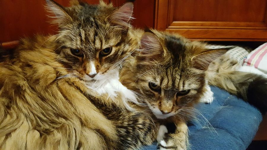 twins Maine Coon Cat Pets Feline Domestic Cat Close-up Cat Family Yellow Eyes At Home Cat Big Cat Whisker Adult Animal