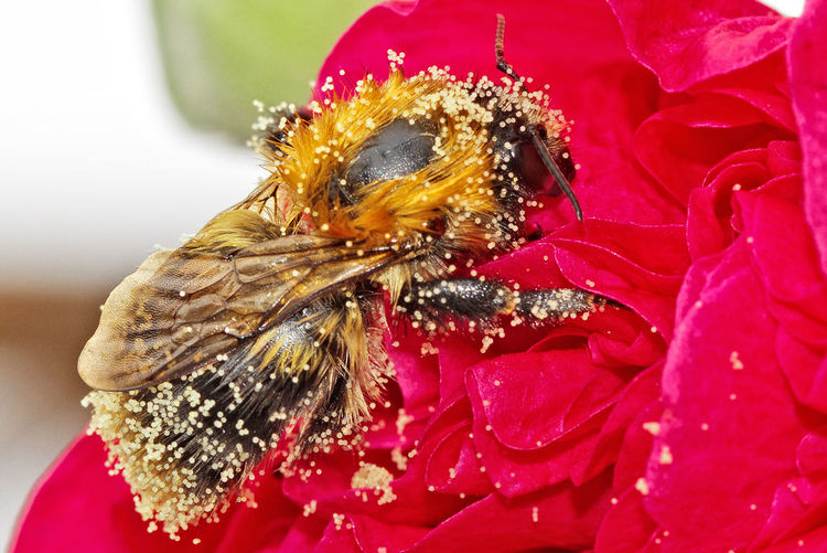 An isolated Bee covered with pollen on a hollyhock flower Bees Bugs_life Close-ups Composition Macro Photography Macro_flower Pollenators Spring Flowers Pollen I Insects  Insect Photography