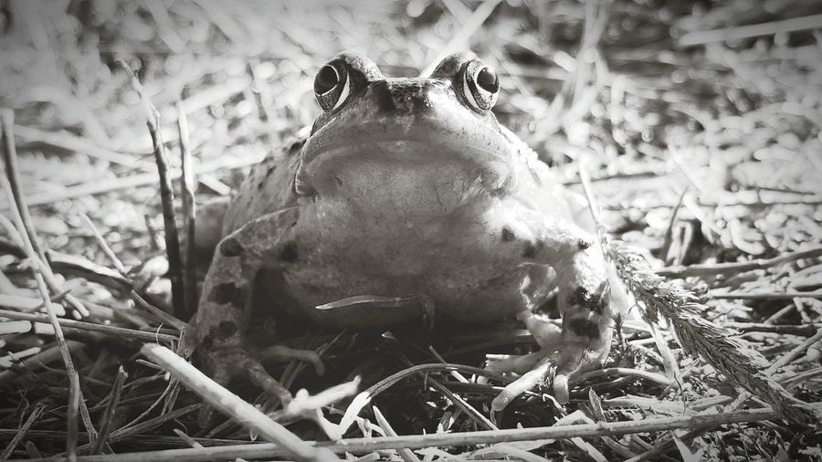 Frogs,chilling Blackandwhite Photography Amphibian Froggy Frog Frogs View Frog Perspective Frog Pawn Black And White Black And White Photography Black And White Collection  Black And White Friday