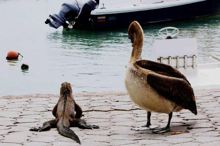 #iguana #galapagos Relax Water Pelican
