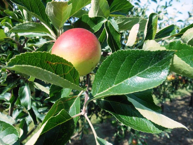 Apples Apple Orchard Cider Orchard Old Railway Line Somerset Strawberry Line Walking Countryside