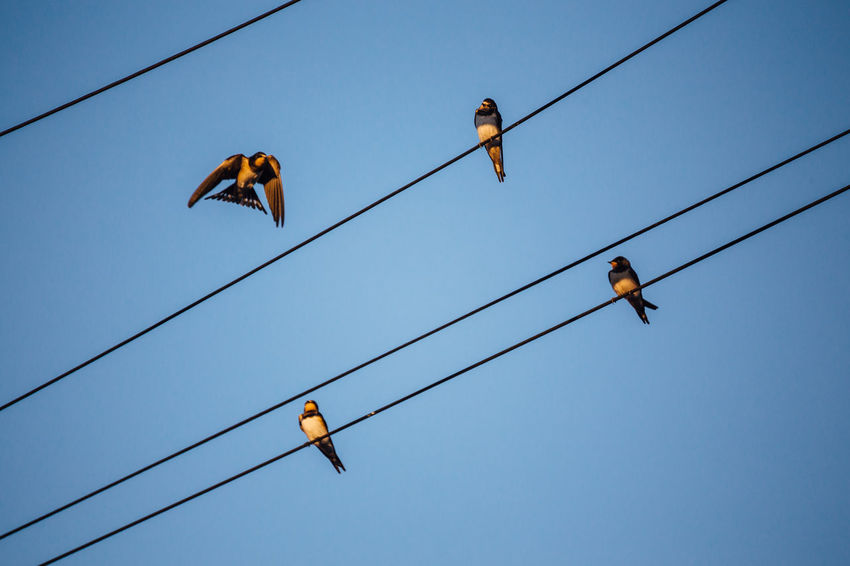 Group of swallows in electrical wiring Algarve Animal Animal Themes Animal Wildlife Animals In The Wild Bird Blue Blue Sky Cable Clear Sky Connection Day Electricity  Group Of Animals Hanging Low Angle View Nature No People Outdoors Perching Power Line  Power Supply Sky Swallow