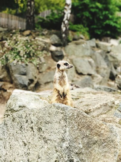 Animals In The Wild One Animal Rock - Object Animal Themes Animal Wildlife Meerkat Day Mammal Outdoors Nature No People Focus On Foreground Close-up