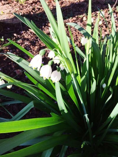 Snowdrops Flowers Flowerporn
