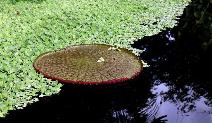 Lago Pirapora Acre Amazonia Aquatica Brasil Planta Rio Vitoria Regia
