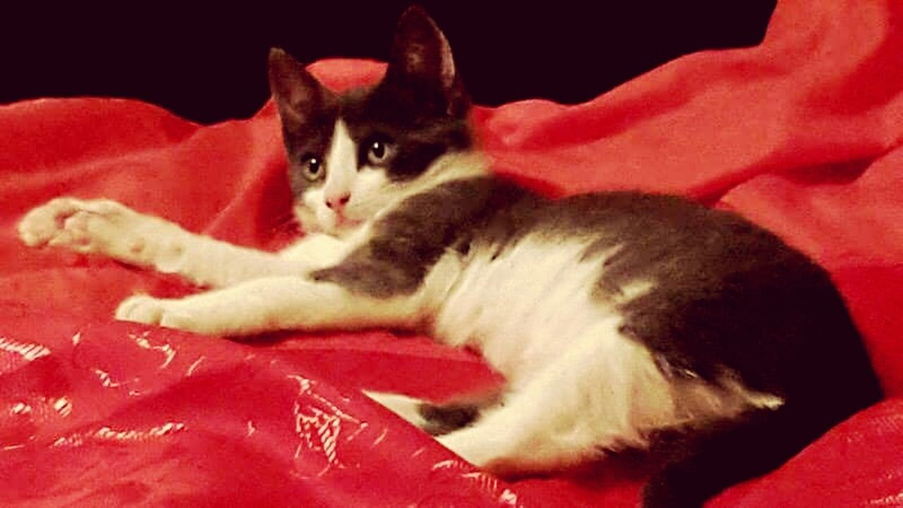domestic cat, pets, animal themes, one animal, red, feline, domestic animals, mammal, no people, bed, sitting, indoors, looking at camera, portrait, kitten, close-up, day