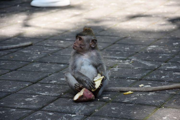 Close-Up Of Monkey Holding Sweet Potato