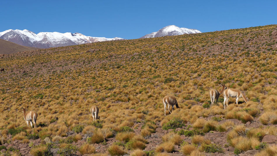 Group of Huanacos grazing Atacama Desert Chile Desert Huanacos Lama Guanicoe Altiplano Animal Themes Animal Wildlife Animals In The Wild Arid Climate Beauty In Nature Desert Grazing Animals Group Of Animals Landscape Mammal Mountain Mountain Range Nature No People Outdoors San Pedro De Atacama Scenics Snow Wildlife