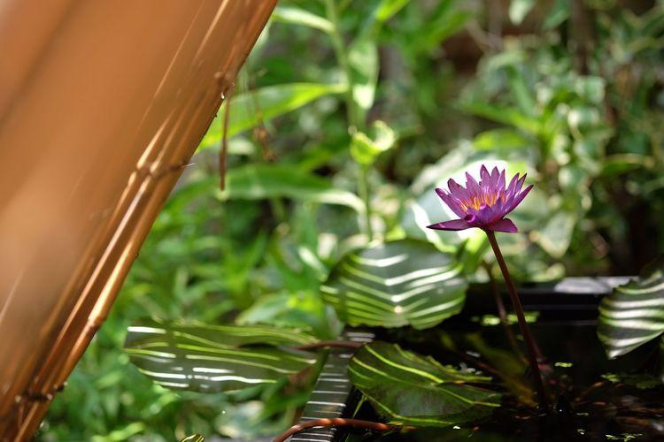 Colour Of Life Green Purple Purple Flower Water Lily Waterlily Light And Shadow Sunlight Natural Light Summer Views Fujifilm Fujifilm_xseries FUJIFILM X-T10 Xf60 Pro Neg. Hi The Purist (no Edit, No Filter)