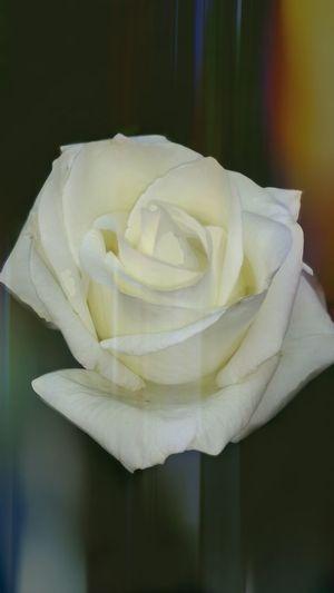 White Rose Eye4photography  Flowers Naturaleza Eye4nature
