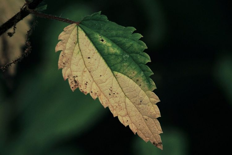 Close-up of autumnal leaf