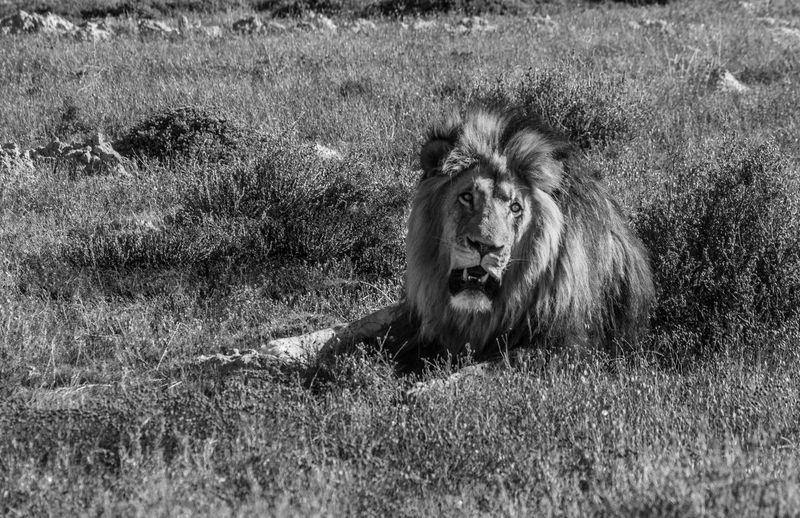 Animal Animal Themes Animal Wildlife Animals In The Wild Cat Day Feline Field Grass Land Lion - Feline Male Animal Mammal Nature No People One Animal Outdoors Plant Relaxation Undomesticated Cat Vertebrate