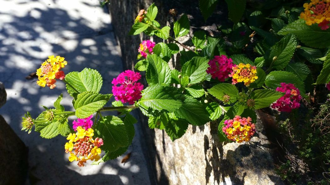 #sunnyday #Nature  #travel #photography #viseu #village #colors #beautiful #moments #life #details #MyView #EyeEmNewHere Flower Head Flower Sunlight Shadow Leaf Pink Color Close-up Plant Blooming In Bloom Blossom Flowering Plant Botany