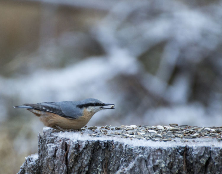 Eurasian Nuthatch Sitta Europaea Animal Themes Animal Wildlife Animals In The Wild Bird Close-up Day Nature No People One Animal Outdoors Perching Picchio Muratore