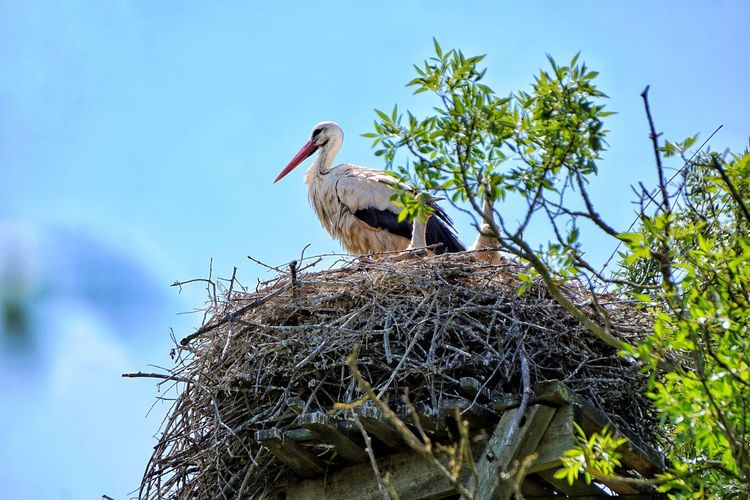 Bird White Stork Tree Perching Beak Stork Blue Feather  Sky Close-up Bird Nest Tropical Bird Macaw Robin Animal Nest Nest Ibis Scarlet Macaw Costa Rica Animal Egg Parrot Gold And Blue Macaw Chick Young Bird Pelican Vulture Hornbill Baby Chicken Gosling Cygnet