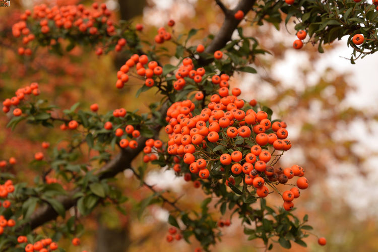Orange cotoneaster fruits on a branch Cotoneaster Berries Cotoneaster Cotoneaster Tree Growth Beauty In Nature Plant Freshness Tree Day Berry Fruit Selective Focus Orange Color Fruit No People Nature Focus On Foreground Outdoors Ripe EyeEmNewHere