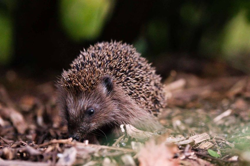 Igel Hedgehog Garden One Animal Animals In The Wild Animal Themes Animal Wildlife Outdoors No People Nature Close-up Wildlife