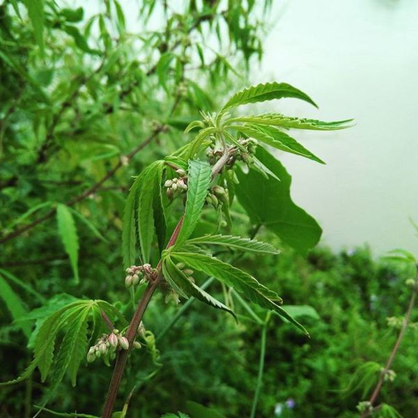 The Indian Marijuana (Bhang )😂 Drugs Weed Green Bank River Gung or Gang Landscape Leaf Blurry Background Cool