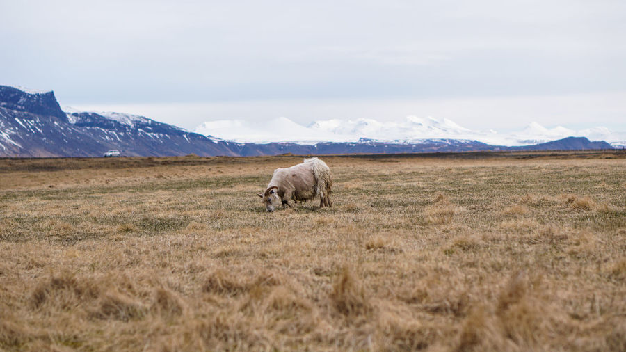 Ram  in a dry field of iceland