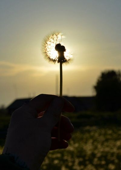 #жизньВмиг Human Hand One Person Human Body Part Dandelion Flower Holding Personal Perspective Nature
