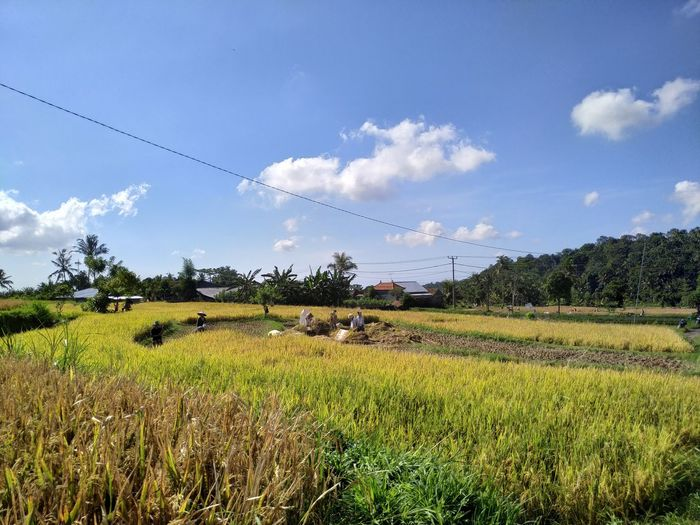 Tree Rural Scene Rice Paddy Agriculture Field Tea Crop Crop  Farm Sky Cloud - Sky Cultivated Land Irrigation Equipment Agricultural Equipment Plowed Field Plantation Cereal Plant Agricultural Field Rice - Cereal Plant
