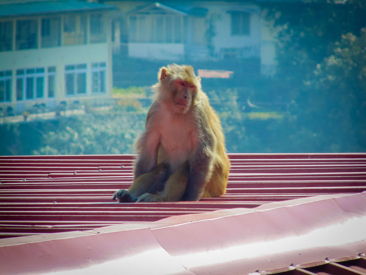 alone and independant.. Alertness Animal Animal Themes Animals Blue Building Exterior Built Structure Close-up Cold Day Focus On Foreground India Mammal Monkey Monkeys Mussoorie Nature No People Outdoors Pets Roof Selective Focus Urban Uttarakhand Wildlife