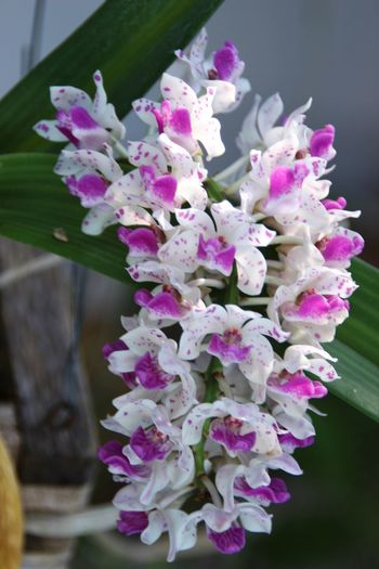 Holidays Outdoors Nature No People Freshness Day Chiangmai Thailand Beauty In Nature Chiang Mai | Thailand Chiang Mai Thailand Flower Flower Head Close-up Fragility Orchid Orchid Blossoms Orchid Flower Ivory Ivory Like Rhynchostylis Gigantea Rhynchostylis Gigantea