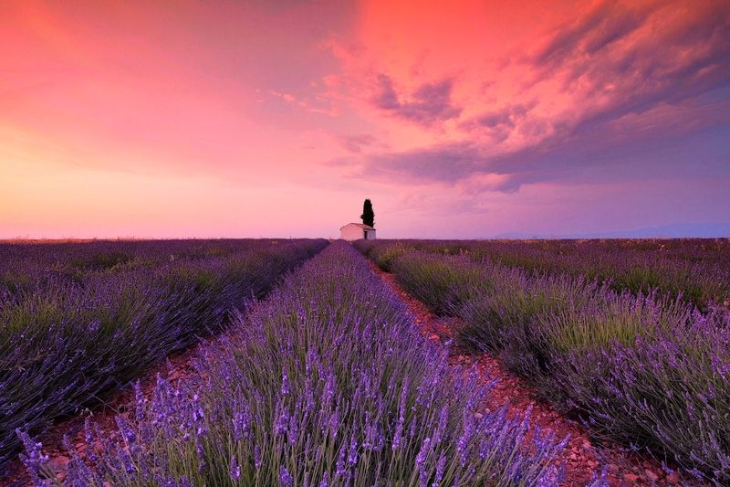 Lavenders growing on land against sky during sunset