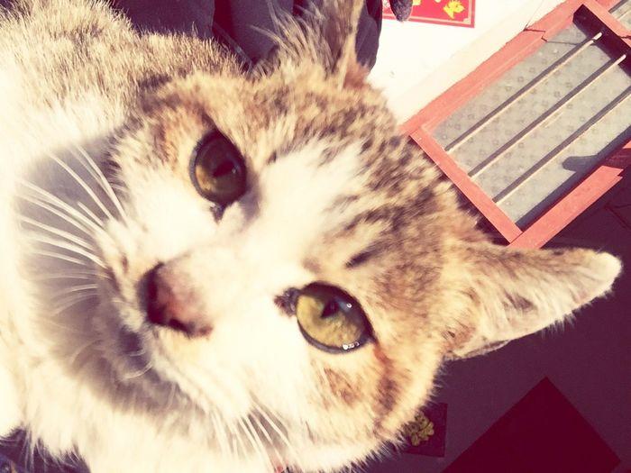 CAT, Pets Domestic Cat