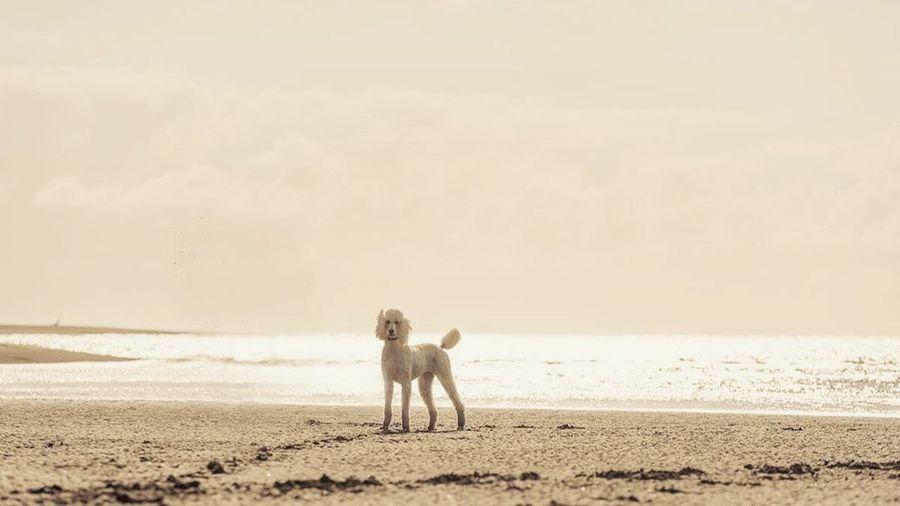 Fiona & the beach West Coast Beach No People Beach Theme Raglan Nz New Zealand New Zealand Beach Dog Poodle Wet Poodle Full Length Animal Themes One Animal Alertness