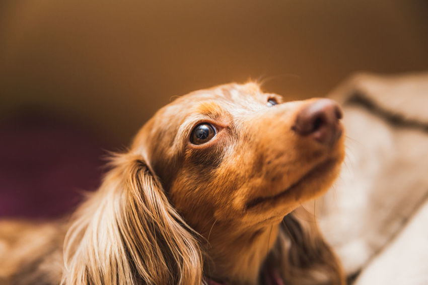 Honey, a Dapple dachshund and one of the best cuddlers this side of the Mississippi. Dog Pets Canine One Animal Domestic Animals Animal Themes Indoors  Dachshund Animal Head  Dachshunds Cute Dog  Cute Pets Cute Cute♡ Adorable Face