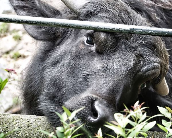 Animal Themes One Animal Mammal Livestock Domestic Animals Day Close-up Outdoors No People Nature Young Cow