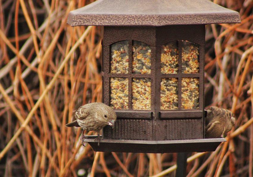 Birds Finches Feeder Nature Bird Feeder House Finch