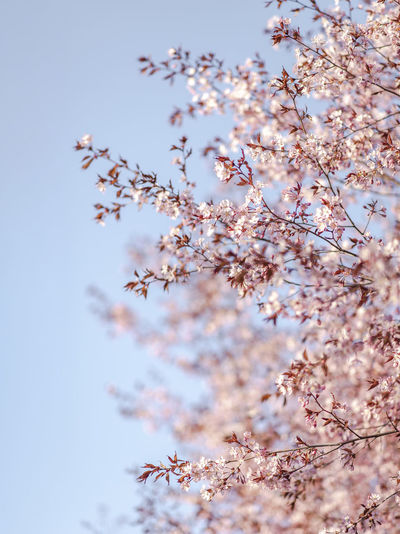 Cherry Tree Beauty In Nature Plant Flowering Plant Flower Growth Fragility Low Angle View Freshness Vulnerability  Tree Blossom Springtime Nature Sky No People Branch Day Tranquility Cherry Blossom Close-up Outdoors Cherry Tree Flower Head