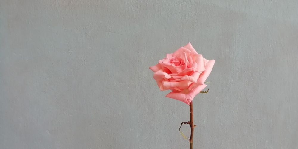 Close-up of pink rose against wall