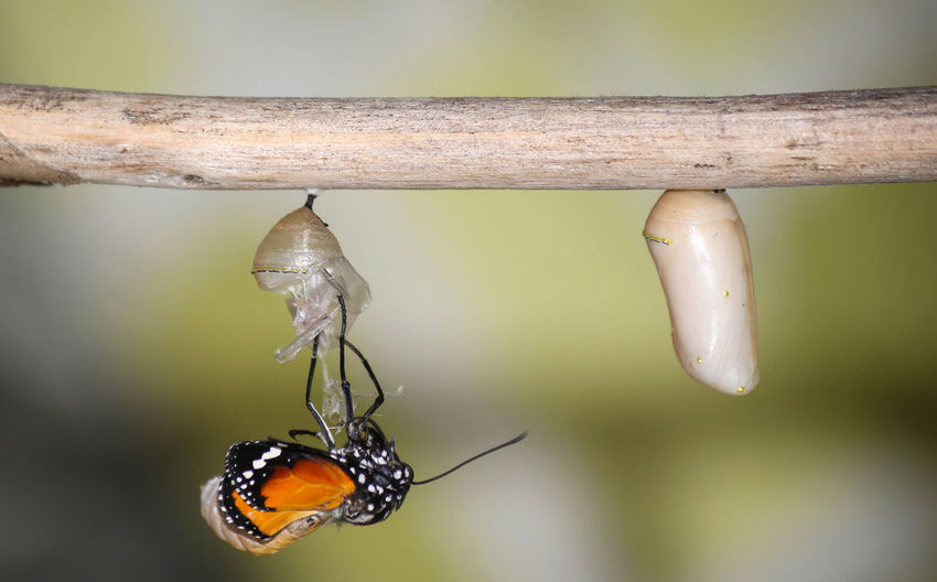 Close-up of butterfly on cocoon