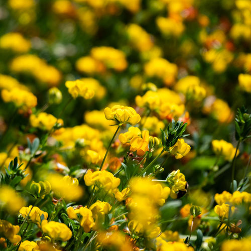 Flower Flowering Plant Yellow Fragility Beauty In Nature Freshness Plant Vulnerability  Growth Field Selective Focus Land Nature Close-up Petal Flower Head No People Inflorescence Day Outdoors