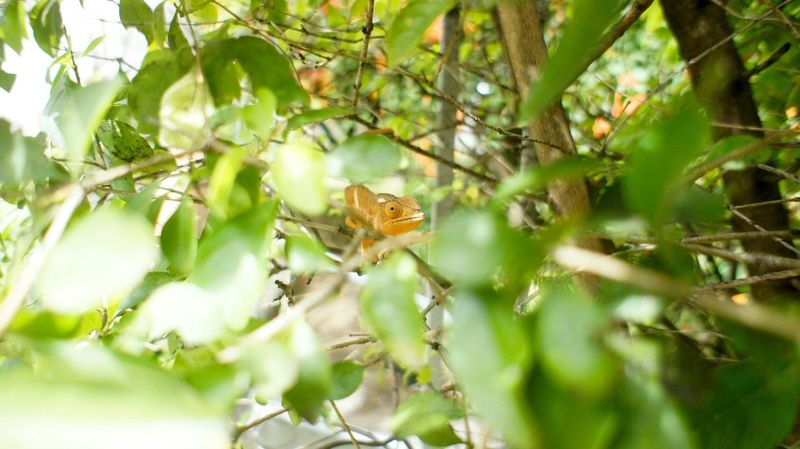 Margouillat Lezard Feuilles Jardin Garden Animal Focus Bukeh Check This Out Reunion Island