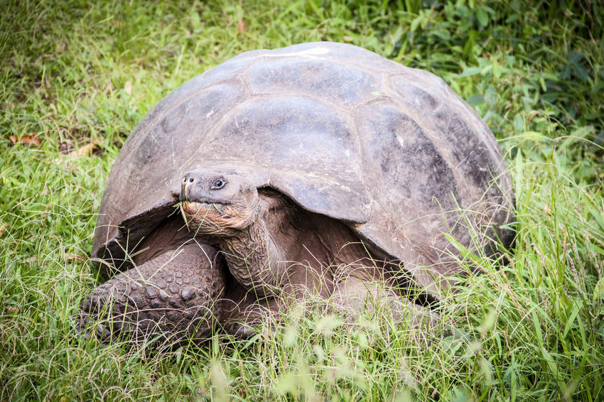 On The Lookout Animal Shell Animal Themes Animal Wildlife Animals In The Wild Day Grass Looking Nature No People One Animal Outdoors Portrait Reptile Tortoise Tortoise Shell Vegetrarian Watching