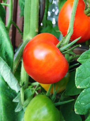 Food Food And Drink Vegetable Freshness Fruit Healthy Eating Tomato Plant Part Green Color Close-up