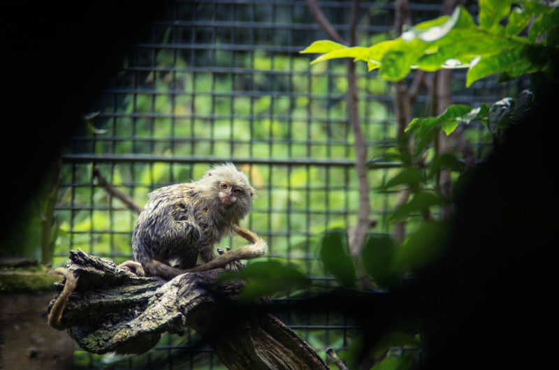 Portrait of monkey sitting on branch in cage