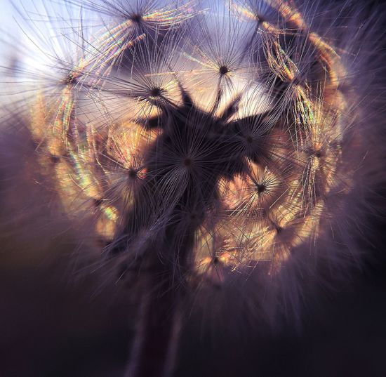 Dandelion at