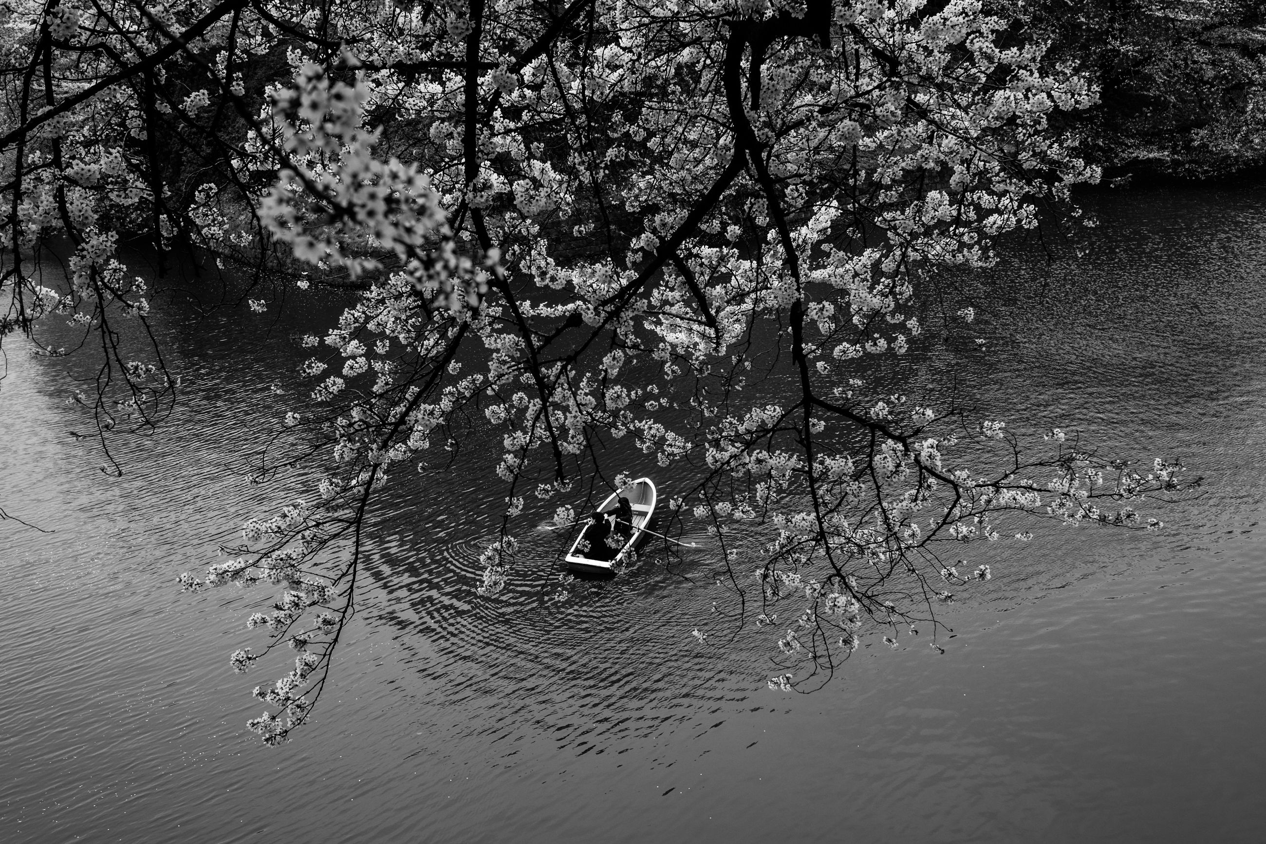 tree, water, branch, lake, reflection, scenics, tranquility, nature, growth, tranquil scene, non-urban scene, beauty in nature, idyllic, waterfront, springtime, flower, day, majestic, vacations, blossom, tourism, no people, freshness, swimming
