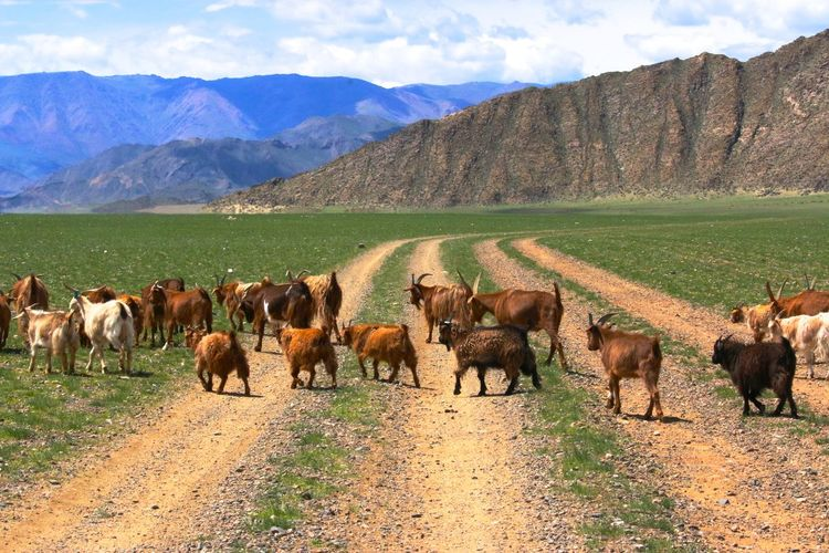 Animal Animal Themes Animalcrossing Arid Climate Day Domestic Animals Field Geology Grass Grazing Herbivorous Kho Khovd Landscape Livestock Mammal No People One Animal Outdoors Physical Geography Remote Traveling Two Animals