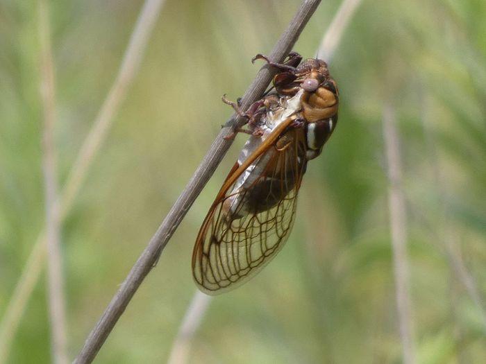 Close-up of cicada on twig