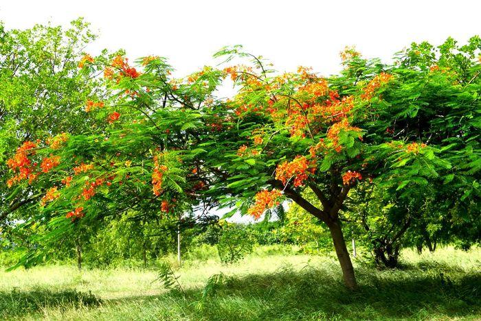 Orange Flowers Green Background Naturephotography Beautiful Trees Nature Outdoor Flamboyan