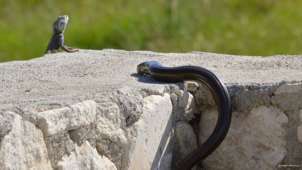 Av ve Avcı Snake Hunt Hunter Wild Lizard Animal Animal Themes Animals In The Wild Reptiles Reptile Photography Reptile Photography Wildlife & Nature Wildlife Photography Nature first eyeem photo