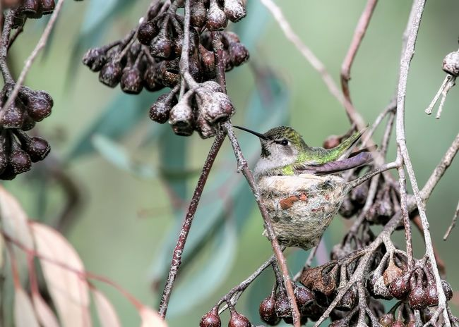 Hummingbird waiting on her nest Anna's Hummingbird Hatching Waiting Animal Themes Animals In The Wild Beauty In Nature Branch Close-up Day Dried Plant Flower Focus On Foreground Fragility Growth Hummingbird Mother To Be Nature Nesting Hummingbird No People Outdoors Plant Sitting On A Nest Tree Twig